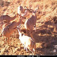 Camera trap - antilope
