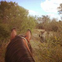 Kanskje det blir en Zorse? ?  Du kommer tett innpå dyrelivet når du deltar på Horses and  Wildlife ? https://www.goxplore.no/program/horses-wildlife